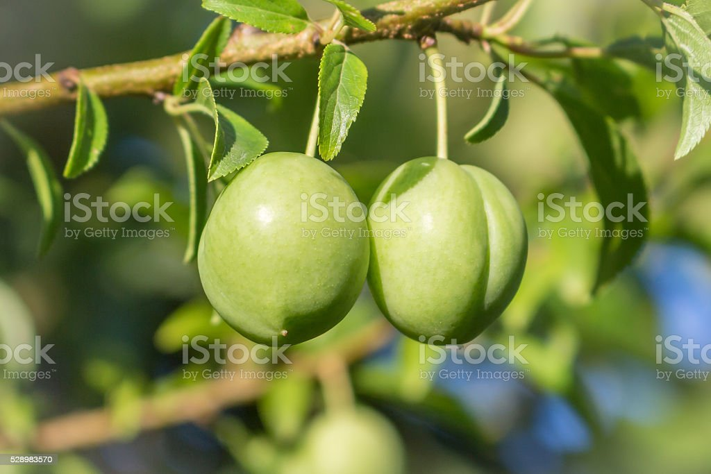 Two splendid green plums hanging from a small branch. stock photo