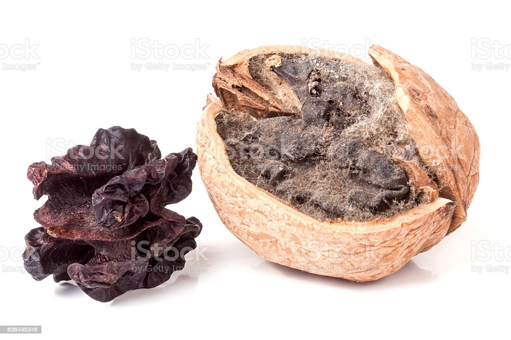 two spoiled walnuts with mold isolated on white background closeup stock photo