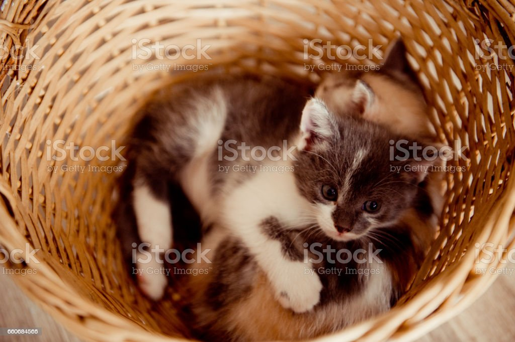 Two spotted kittens in the basket stock photo