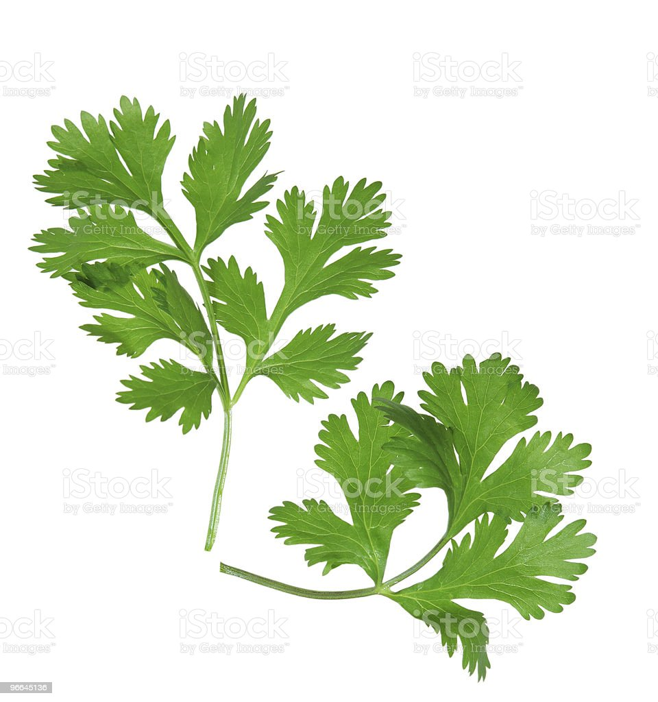 Two sprigs of coriander on a white background stock photo