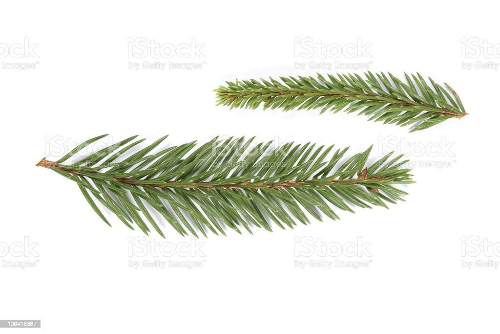 Two spruce twigs with white background  royalty-free stock photo