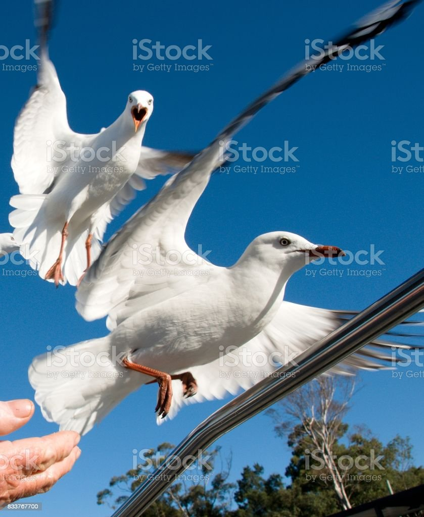Two squabbling Australian Seagulls, Silver Gulls, in full flight. stock photo