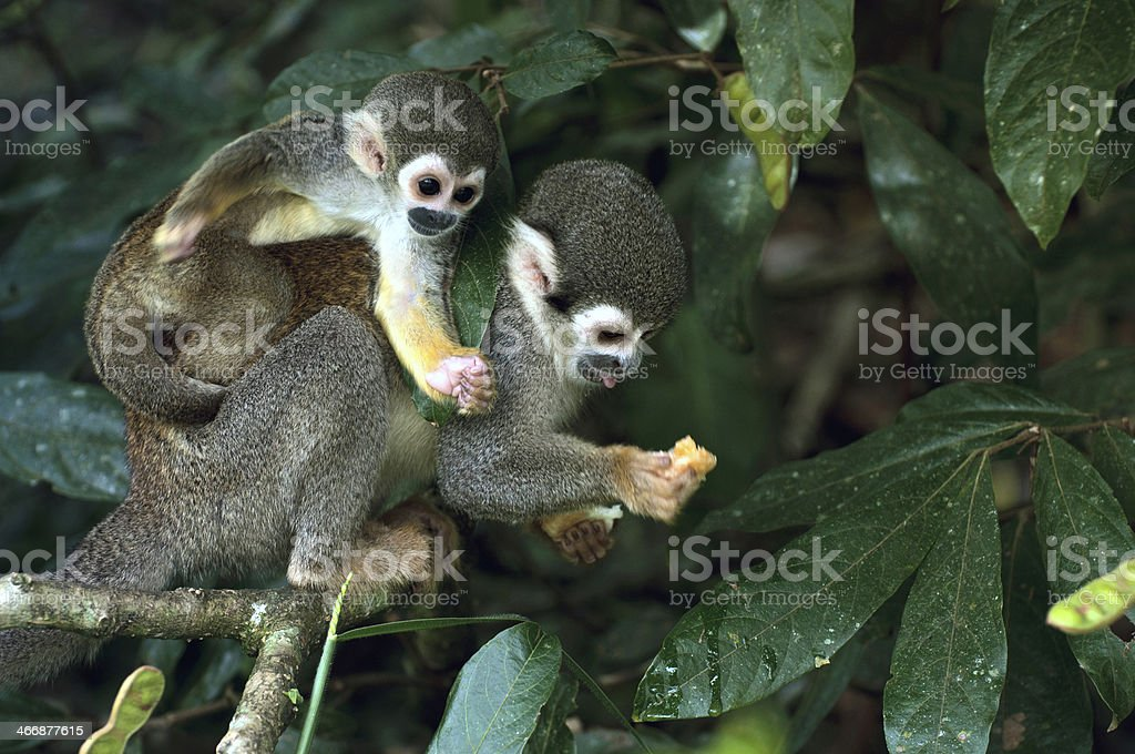 Two squirrel monkeys in the Amazon Rainforest stock photo