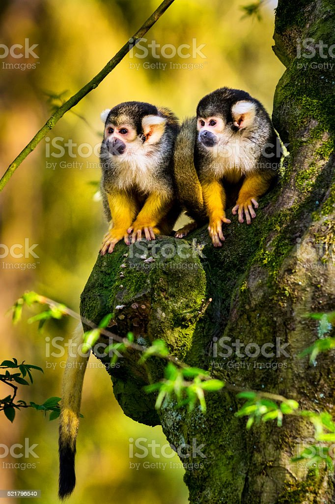Two squirrel monkeys sitting on gnarly tree stock photo