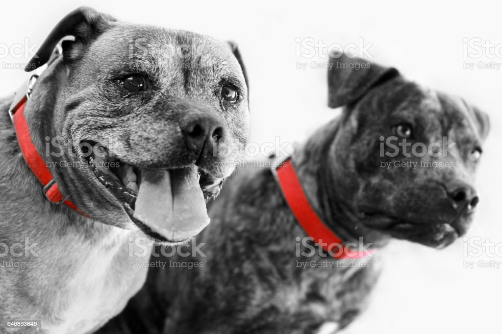 Two Staffordshire Terriers Side Angle Black and White With Red Collars stock photo