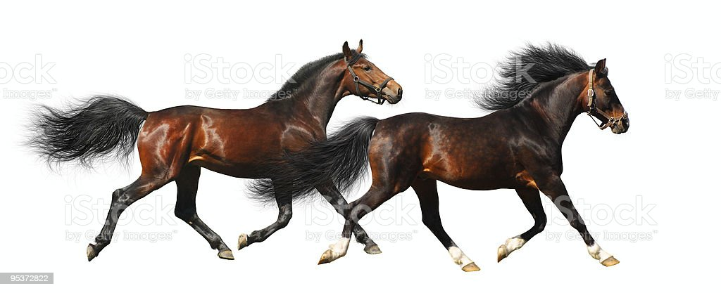 two stallions trot royalty-free stock photo