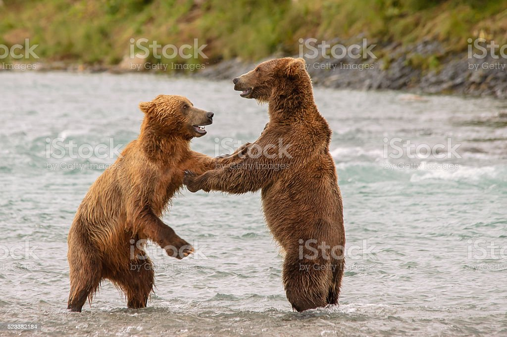 Two Standing Bears Playing Together in River stock photo