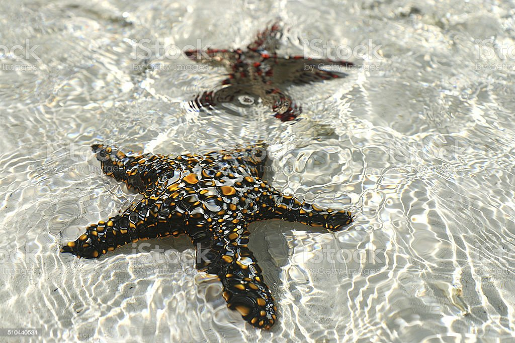 Two starfish royalty-free stock photo