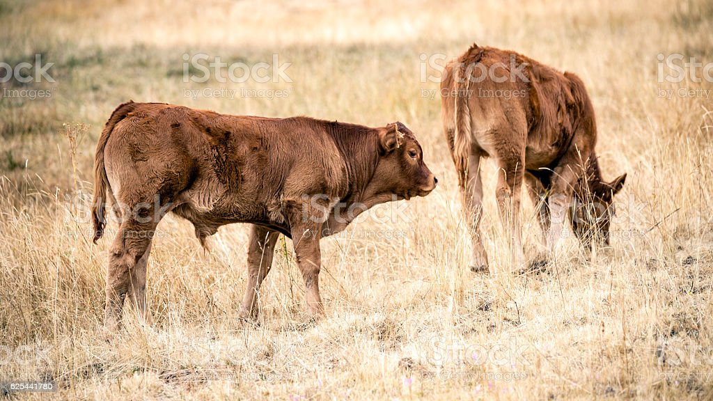 Two Steer stock photo