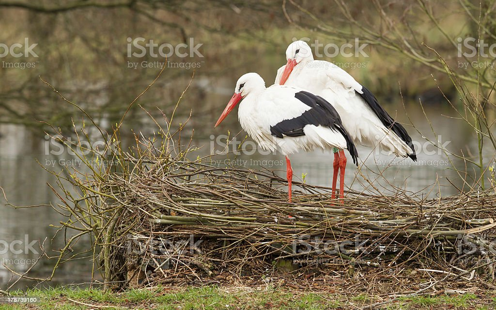 Two storks on a nest royalty-free stock photo