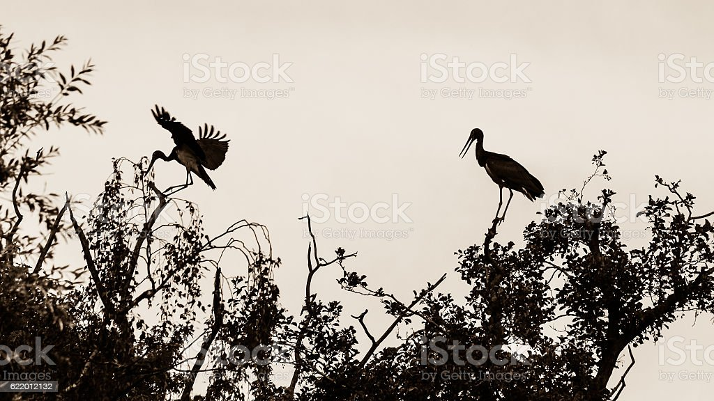 Two Storks on the Tree Top, one landing A stock photo