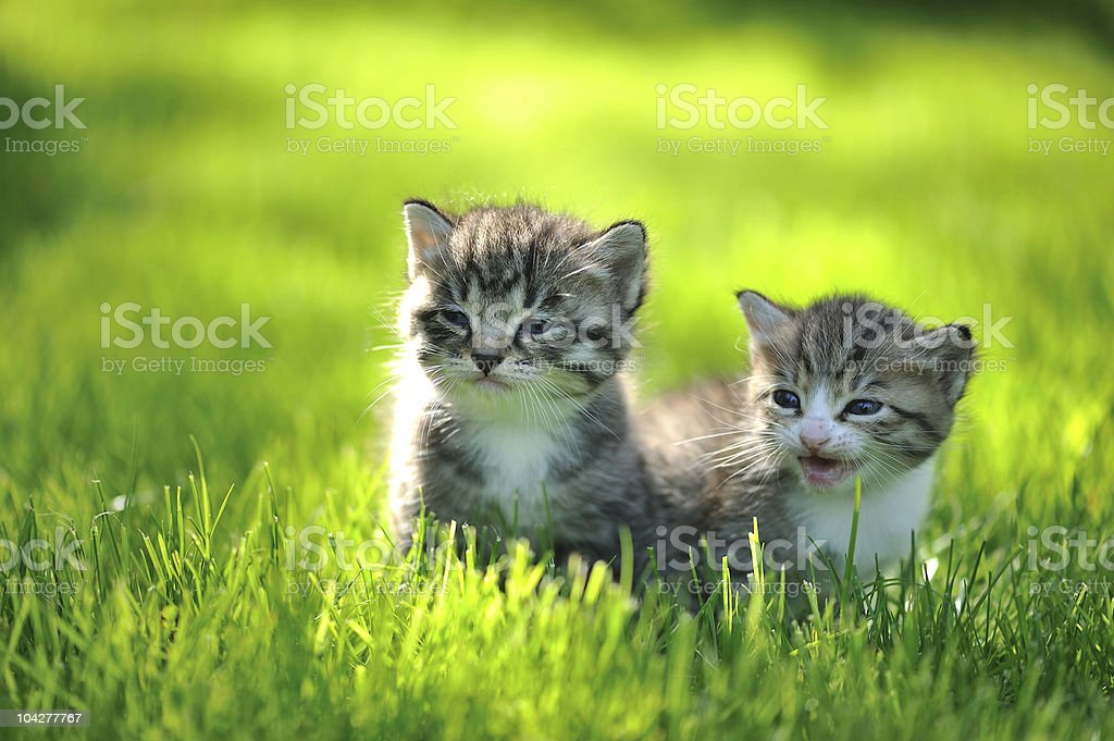 Two striped kittens sitting in the grass royalty-free stock photo
