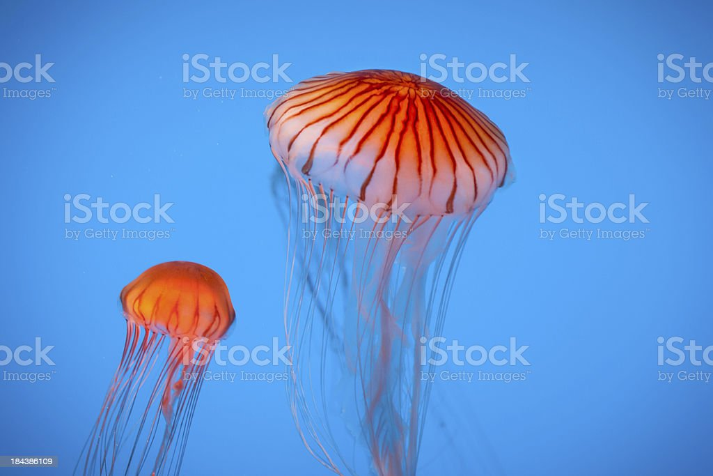 Two Striped Orange Jellyfish Float in Water Over Blue Background stock photo