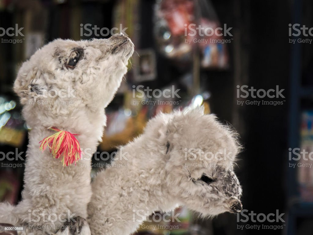 Two stuffed baby-llamas in Canada stock photo