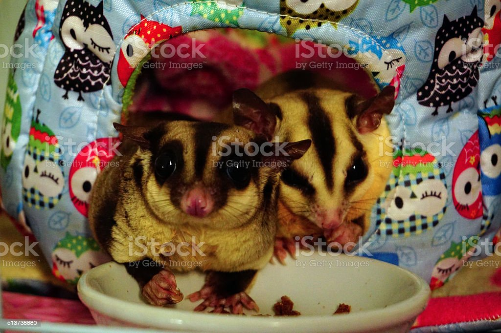 Two sugar gliders eating dry worm in her litlle house stock photo