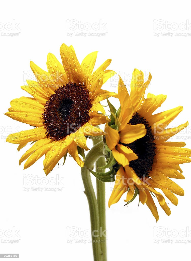 Two sunflowers on white stock photo