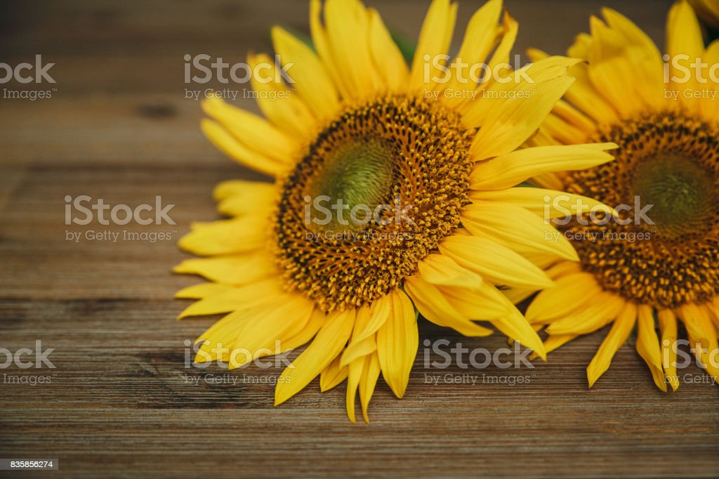 Two sunflowers.Macro.Nature.Wooden background.Selective Focus.Croped. stock photo