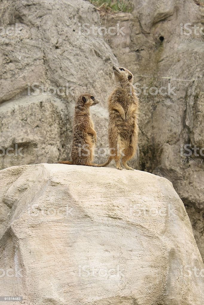 Two suricatas royalty-free stock photo