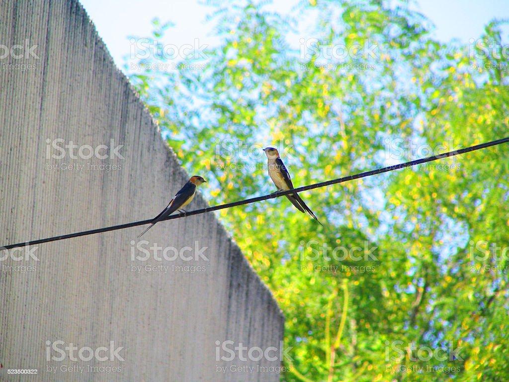 Two Swallows stock photo
