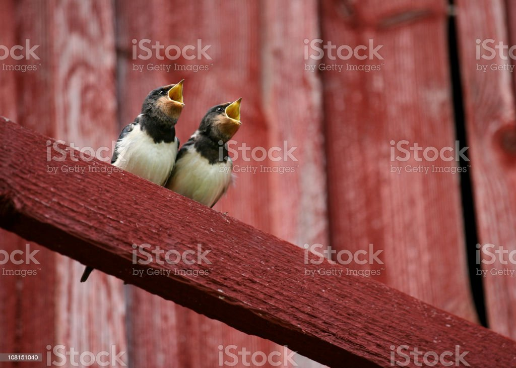 Two Swallows with Beaks Open royalty-free stock photo