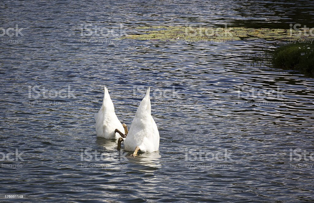 Two Swans Diving for Food stock photo