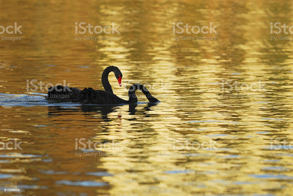 Two swans in last sunlight royalty-free stock photo