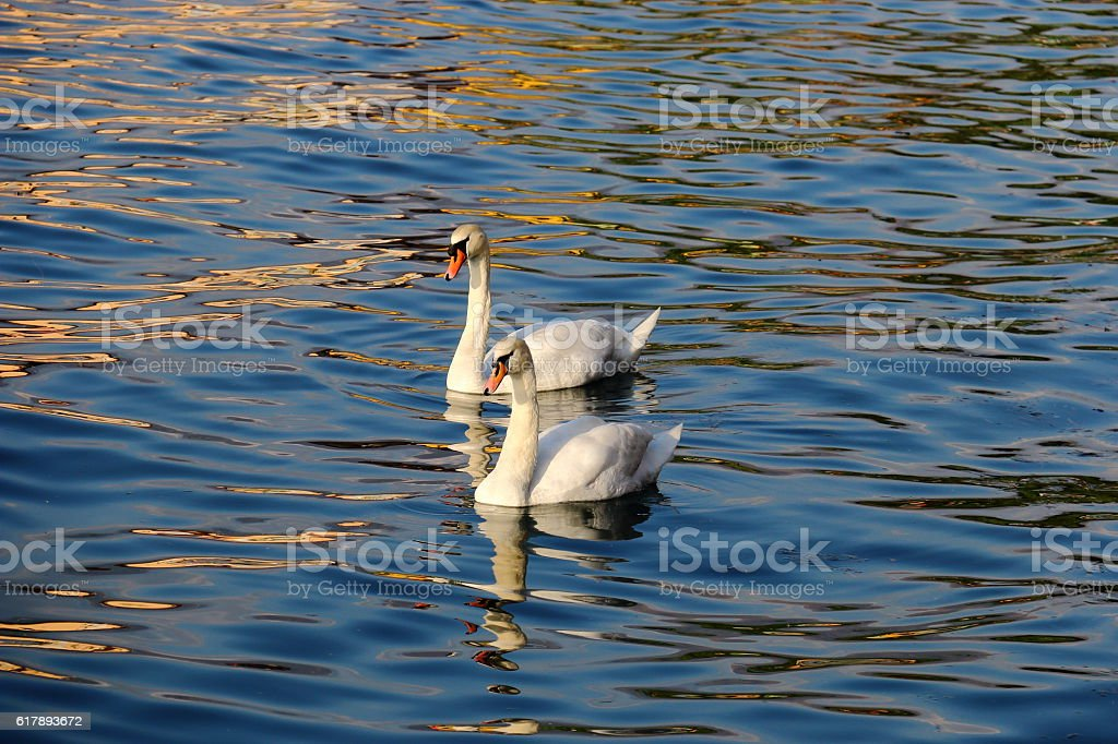 Two swans on the Lake Iseo stock photo