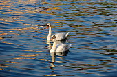 Two swans on the Lake Iseo
