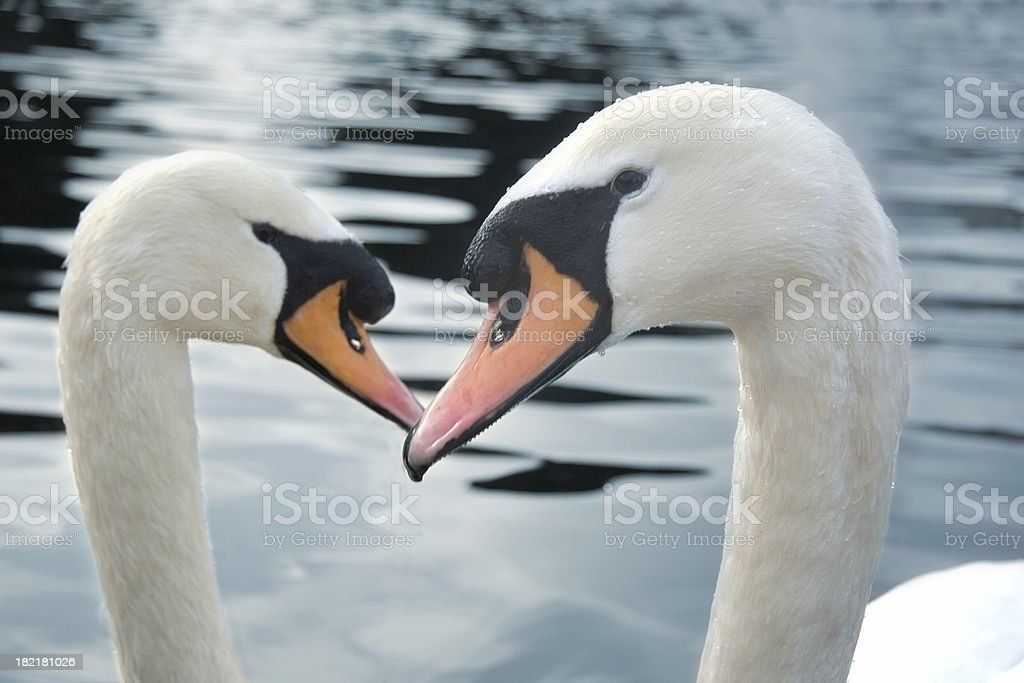 Two swans royalty-free stock photo