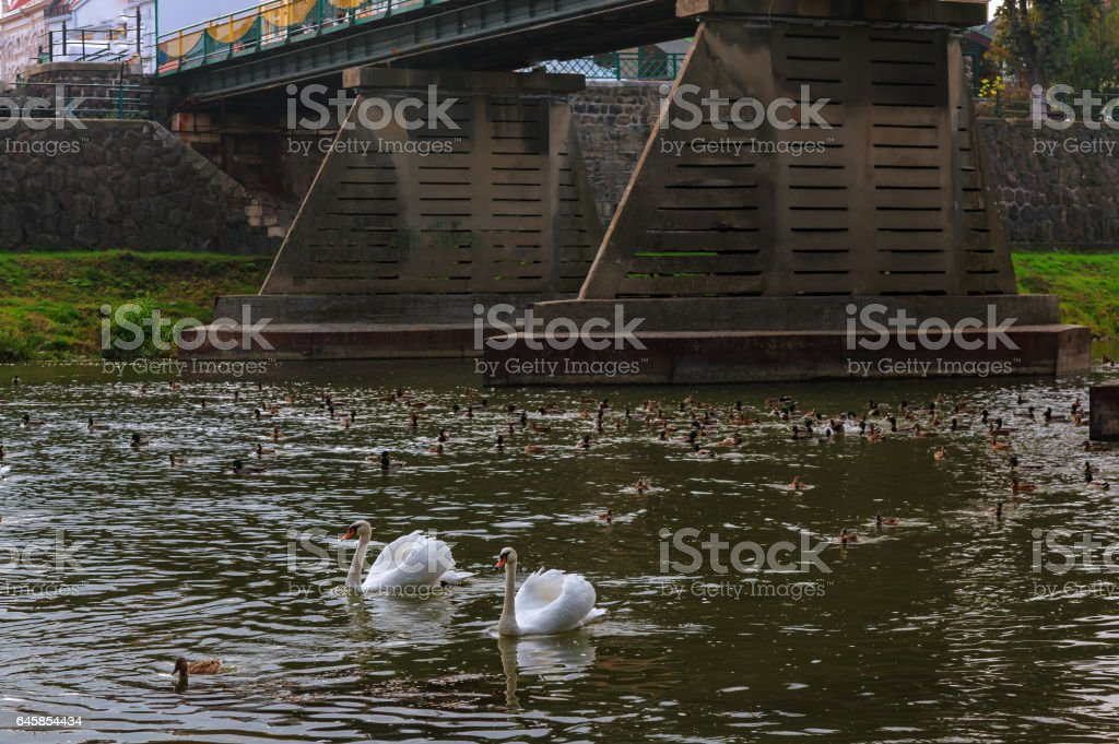 Two swans swimming up a tranquil river together in autumn stock photo