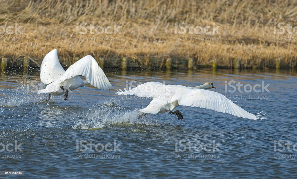 Two swans taking off from a canal royalty-free stock photo