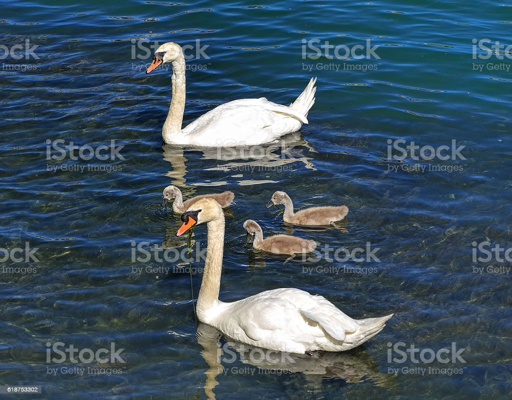 Two swans with three cygnets on the Aare river stock photo