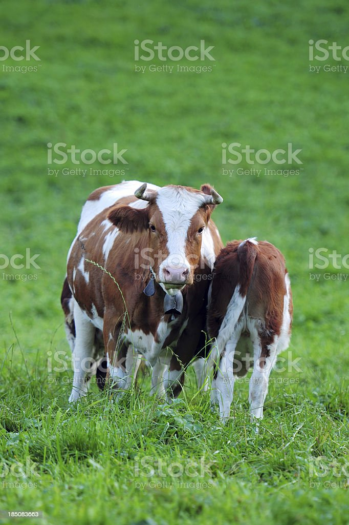 Two Swiss Cow On Meadow- XLarge royalty-free stock photo