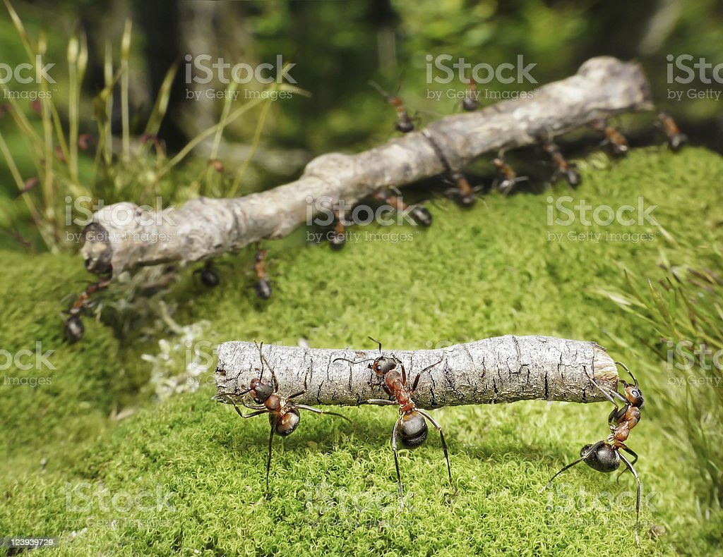 two teams of ants carry logs stock photo