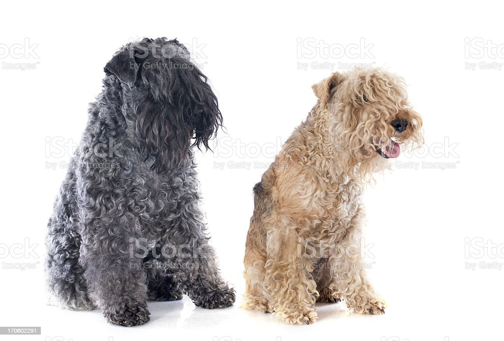 two terriers royalty-free stock photo