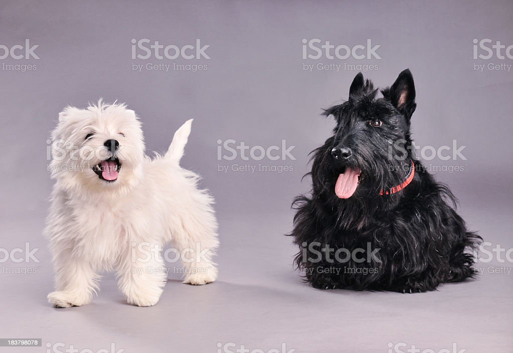 Two terriers. stock photo