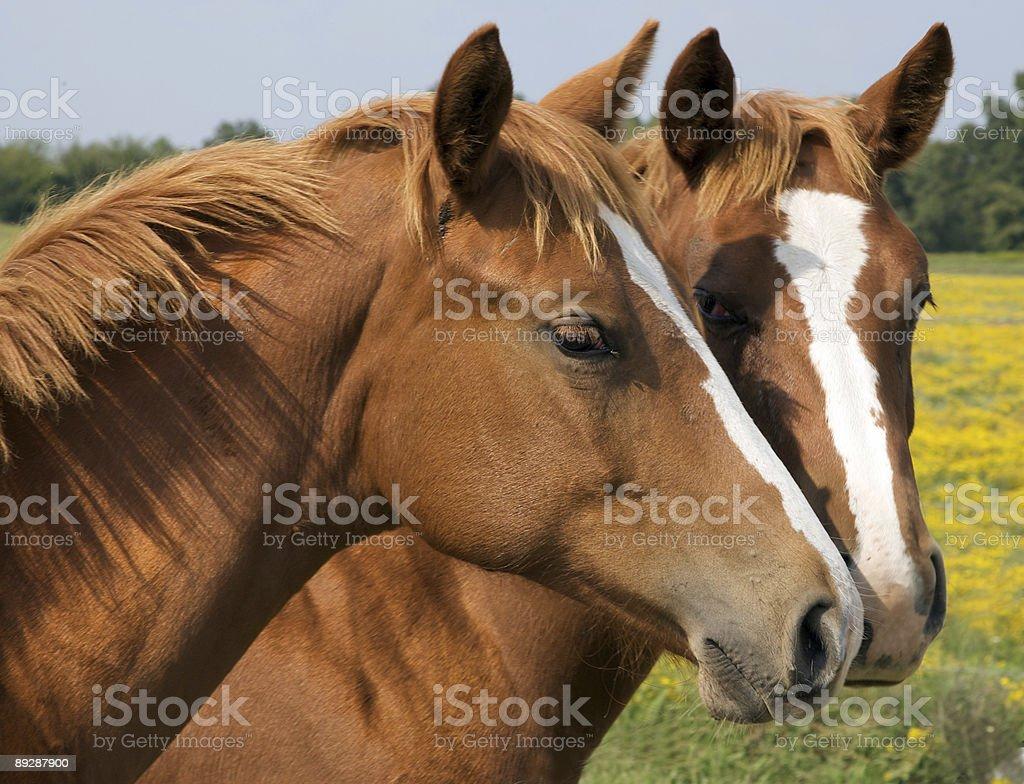 Two Texas Quarter horses stock photo