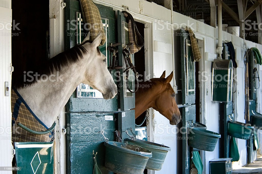 Two Thoroughbreds in Stable stock photo