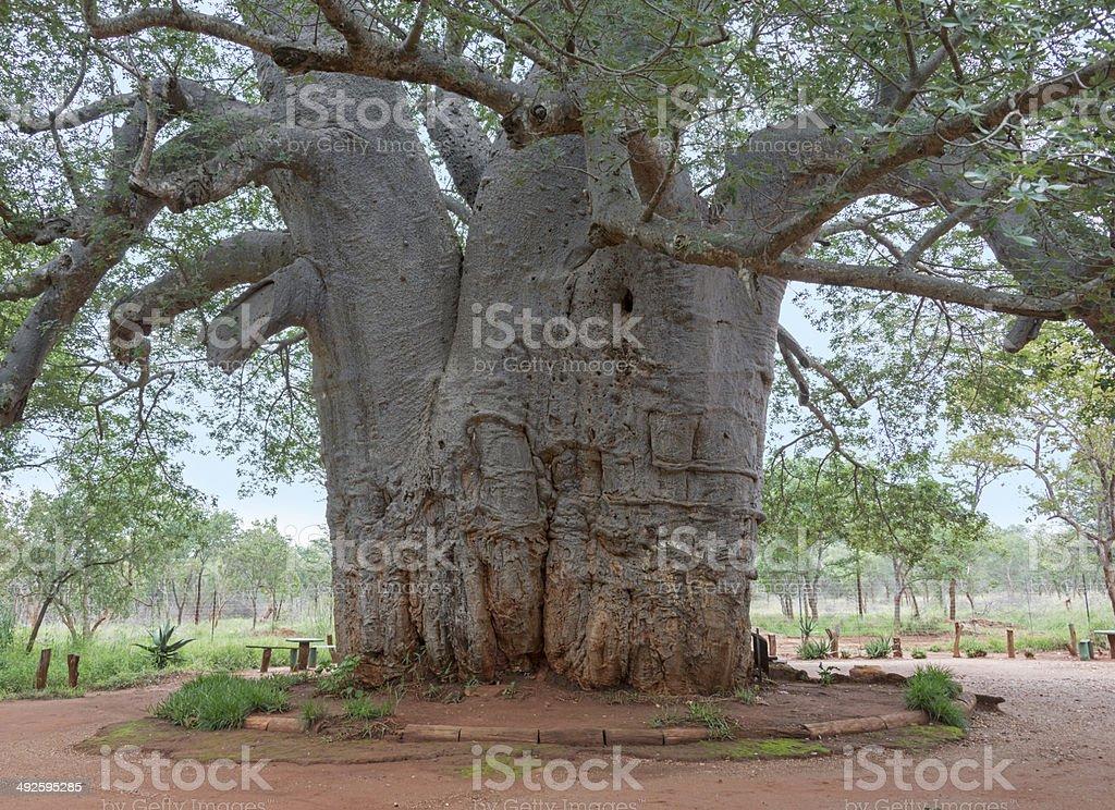 two thousand year old baobab tree stock photo