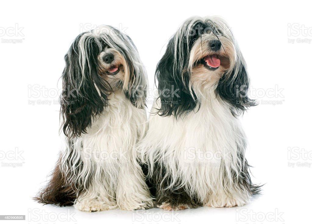 two Tibetan terrier stock photo