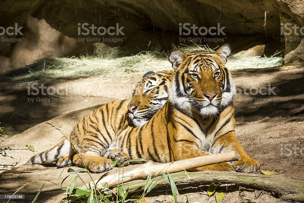 Two Tiger resting stock photo