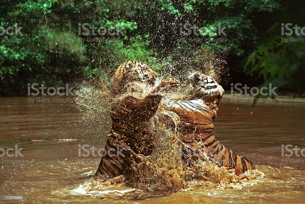 Two Tigers Fighting royalty-free stock photo