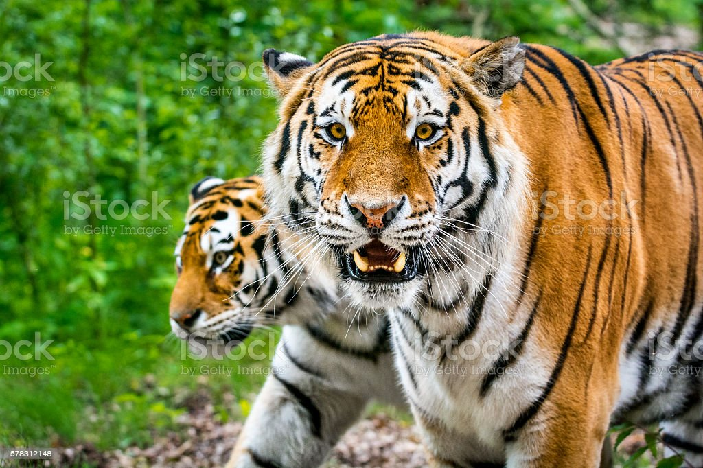 Two tigers in forest stock photo