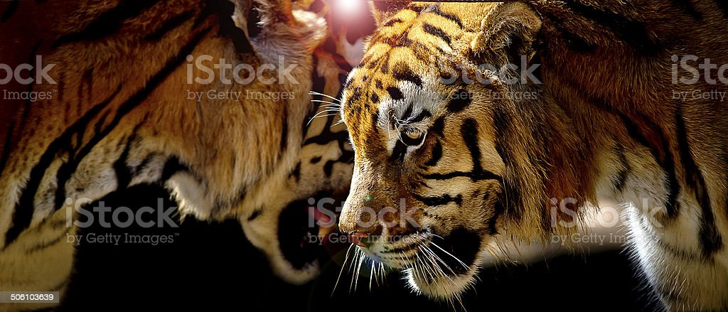 Two tigers in their natural environment stock photo