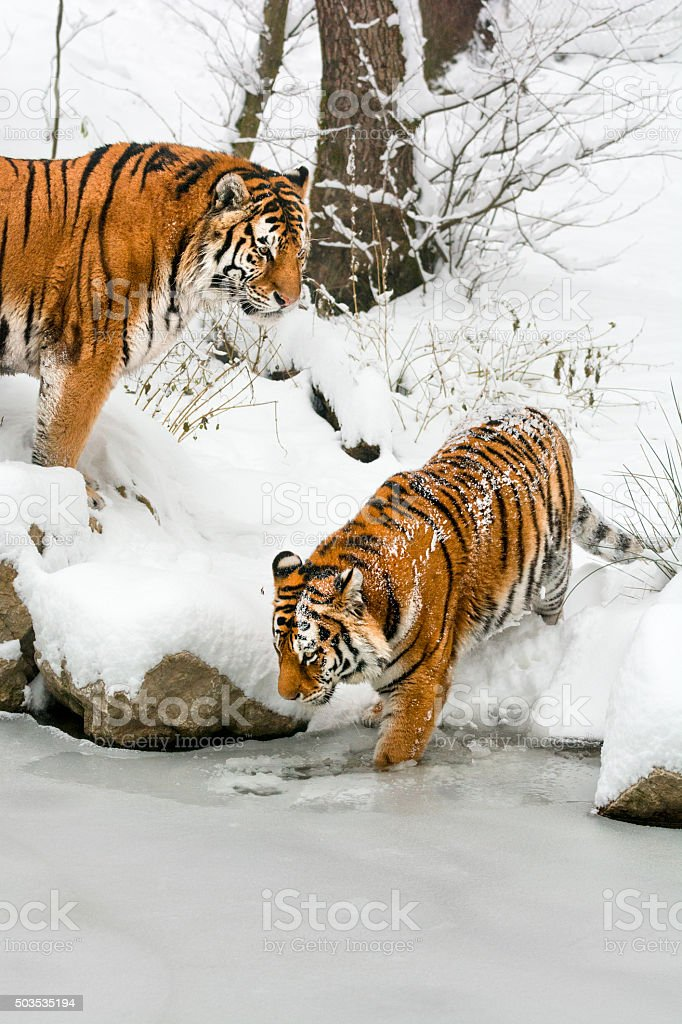 Two tigers on coast of frozen pond at winter day stock photo