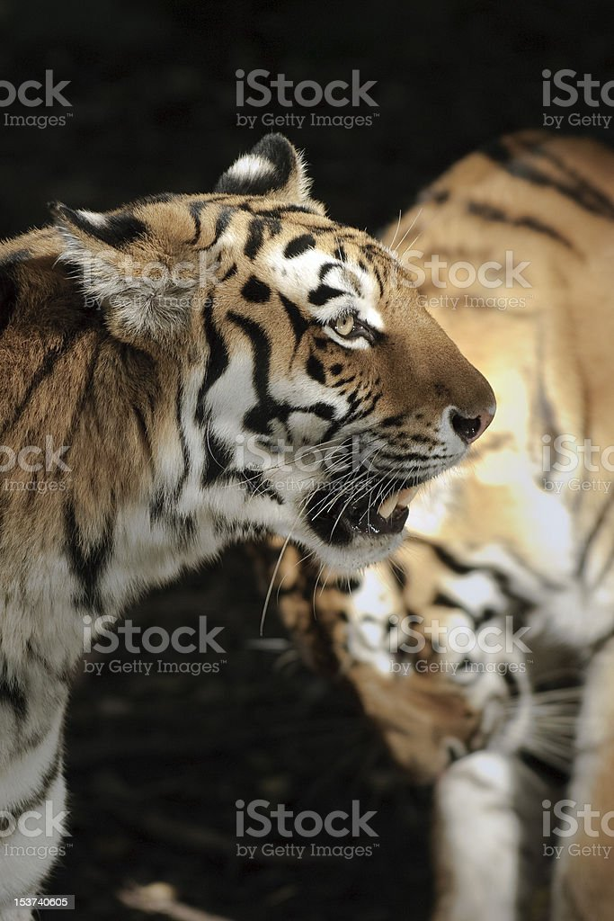 Two tigers royalty-free stock photo
