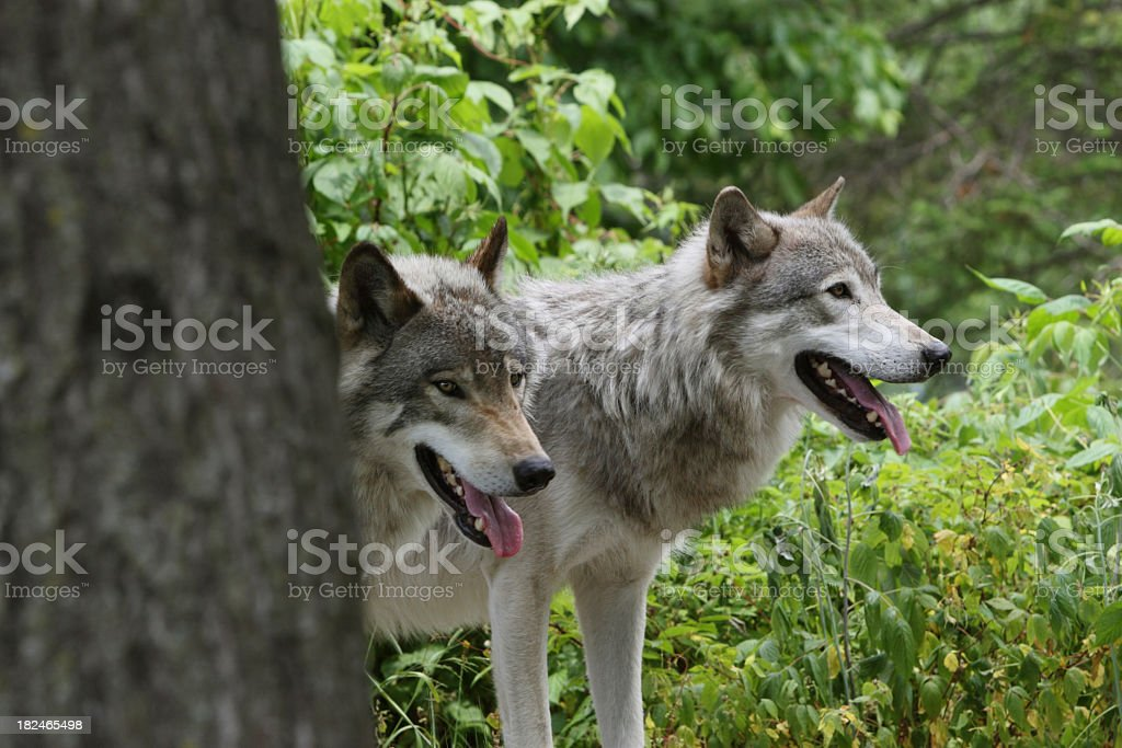 Two Timber Wolves in Spring stock photo