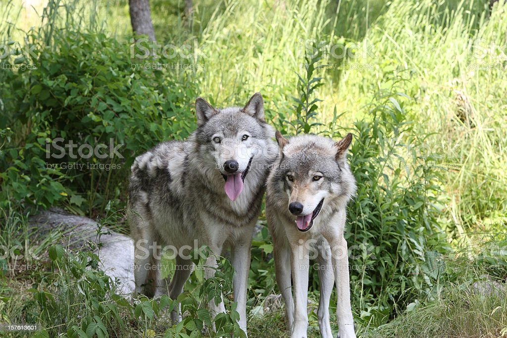 Two Timberwolves Close-up stock photo