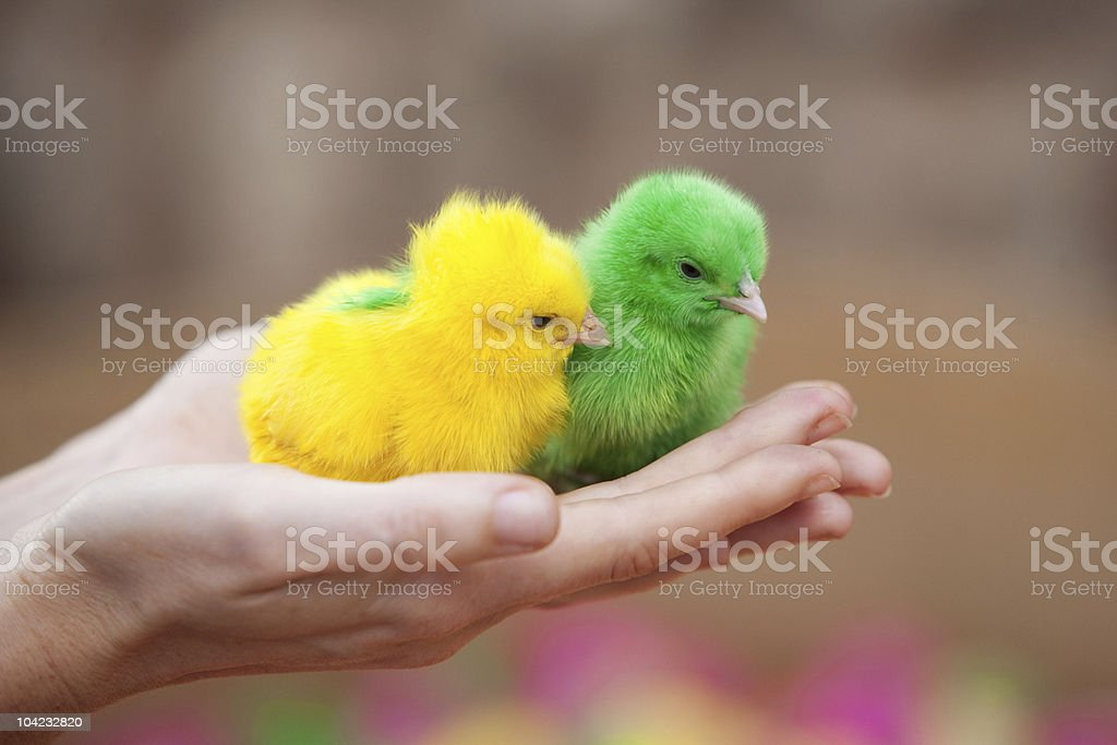 Two tiny  newborn chickens of different colors royalty-free stock photo