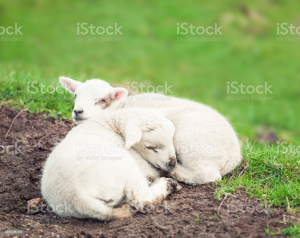 Two Tired Lambs stock photo
